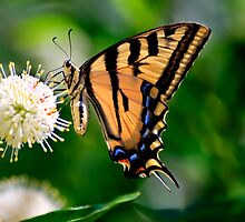 Yellow Swallowtail Butterfly by Diego Re