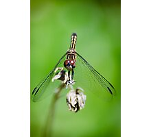 Female Blue Dasher Dragonfly Photographic Print