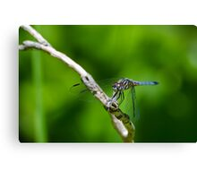 Male Blue Dasher Dragonfly Canvas Print