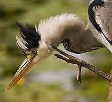 Heron with a 'Hair-do' by Ursula Rodgers