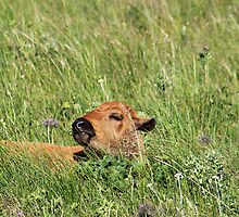 Sleepy Calf by Alyce Taylor