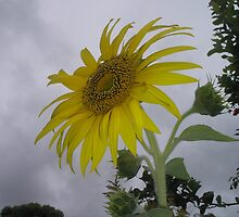 Sunflower on an Overcast Day by Corinna