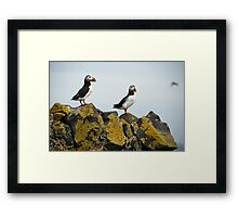 Puffins on stones Framed Print