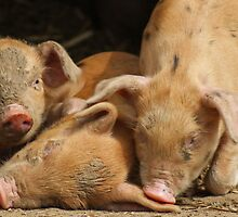 3 little pigs by Rizzo