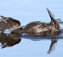 musk duck mating display by birdpics