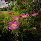 Wild Rose by Charles & Patricia   Harkins ~ Picture Oregon