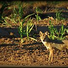 Sunrise Coyote by Kimberly Chadwick