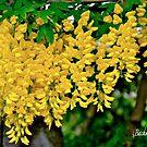 A gold rain ! by siggabach