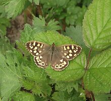Speckled wood by DAL LIPTROT