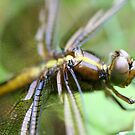 Dragon Fly  Macro by mikrin