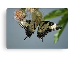 Yellow flutters..... Canvas Print
