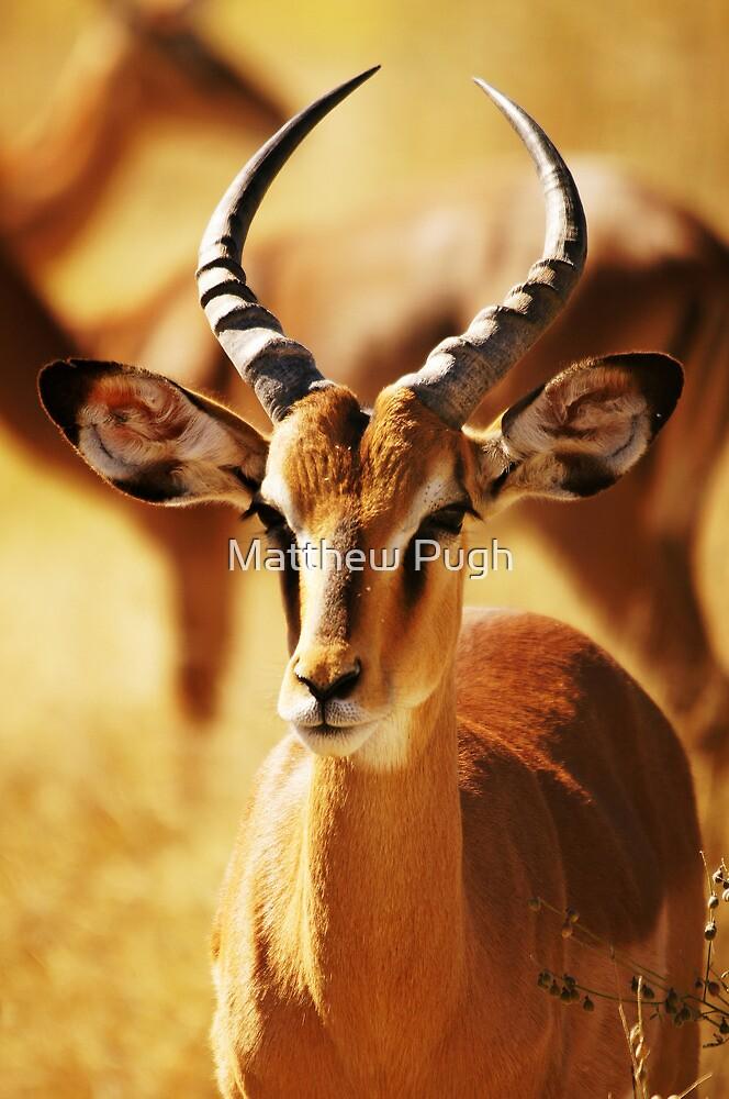 Springbok by Matthew Pugh