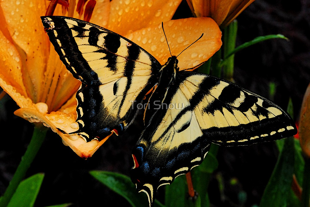Beautiful Tiger Swallowtail by Tori Snow