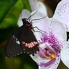 Butterfly enjoying orchids by Paula Betz