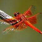 Red dragonfly by loiteke