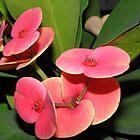 Euphorbia milii In full bloom by Linda Gleisser