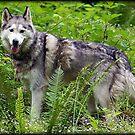Wolf Dog by AngieBanta