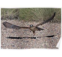 Whistling Kite Chasing Prey 1 Poster