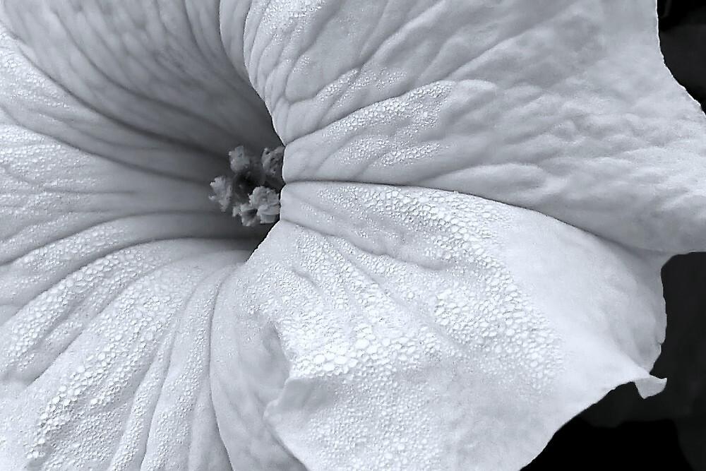 White Petunia in Black & White by paintingsheep