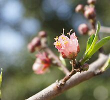 Peach Blossoms by LauraLynnPhotos