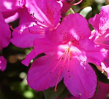 Pink Azalea by LauraLynnPhotos