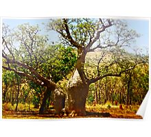 *Boab Trees in the Kimberly Region Outback Australia Poster