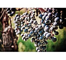 Grape Harvesting Photographic Print