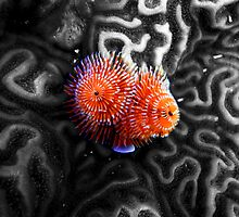 Christmas Tree Worms on Brain Coral by thatche2