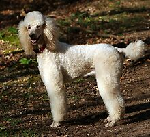Special Poodle Standard by kaninesftw