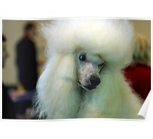 Beautiful Poodle Standard Poster