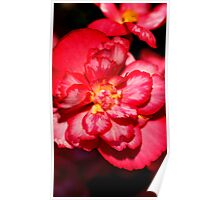 Red & White Variagated Begonia Flower  Poster