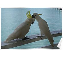 Cockatoos on Hamilton Island Poster
