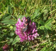 Burnet moth. by DAL LIPTROT