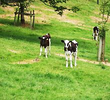 Young cows enjoying summer by DAL LIPTROT