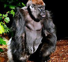 Western Lowland Gorilla by Darren68