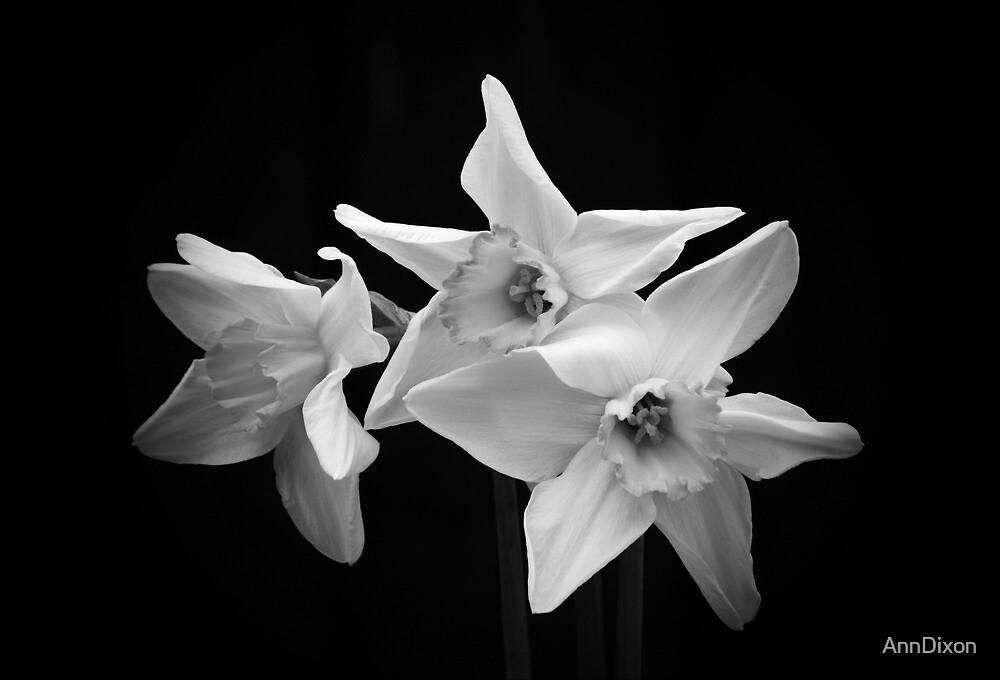 Daffodils in Black & White by AnnDixon