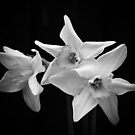 Daffodils in Black &amp; White by AnnDixon