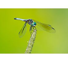 Blue Dasher on Timothy Photographic Print