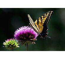 Tiger Swallowtail Photographic Print