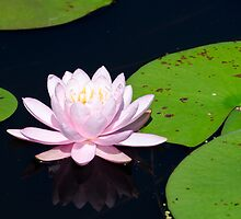 Pink Water Lily on the Ipswich River by Steve Borichevsky