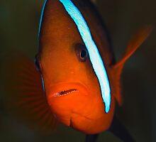 clown fish by Antonio Salaverri Leiras