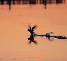Mallard taking flight at sunset by camerahappy