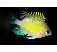 yelow fish Photographic Print