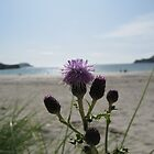 Thistles at Calgary Bay, Isle of Mull, Scotland by johnbanchory
