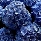 Didn't I show you my blue hortensia? by bubblehex08