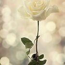 Dreamy Rose by Lynne Morris