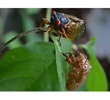 Cicada  Photographic Print