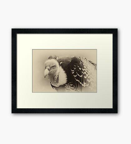 Rueppell's Vulture: After a shower Framed Print