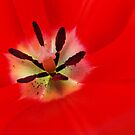 Red Tulip Flower art prints Floral Baslee Troutman by BasleeArtPrints