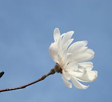 Floral art White Magnolia Tree Flower prints Blue Sky by BasleeArtPrints